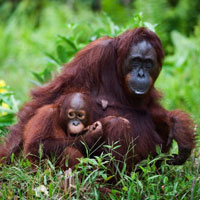 Ms Fabian was able to revisit Borneo the home of these orang-utans with an Annual multi trip policy for just £136