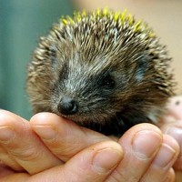 Hedgehogs in the US are believed to be carrying salmonella typhimurium