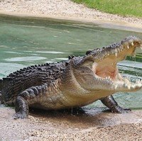 A British man was playing golf in Cancun when a crocodile attacked