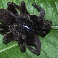 A spider suspected to be a new species of tarantula in Tinsukia, Assam state, India
