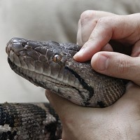 A snake sneaked onto a plane bound for Kuwait, biting a passenger and forcing the pilot to make an emergency landing