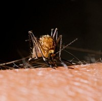 Mosquitoes spread dengue fever