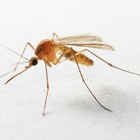 Mosquitoes can carry a number of tropical disease including malaria and dengue fever