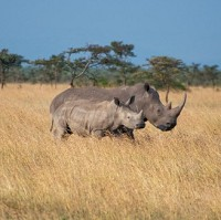 Rhinos in Kenya, where James Radford collected rare artefacts