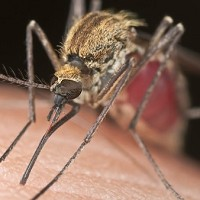 Dengue fever is a viral infection spread by mosquitoes