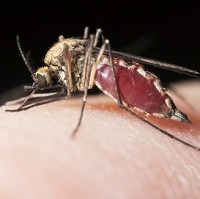 Malaria can be passed on via the bite of a mosquito