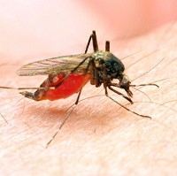 Dengue is transmitted via a mosquito bite