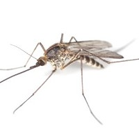 There is a search for Aedes aegypti mosquitoes following a case of dengue fever in Queensldand