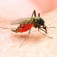 The viral infection is spread by mosquitoes