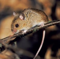 A mouse-borne virus has struck several visitors at Yosemite National Park