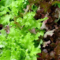 Disease control authorities have claimed that romaine lettuce was responsible for E. coli outbreak