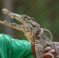 A crocodile being handled (file photo). Cargo handlers for a Melbourne flight found a loose crocodile in the hold