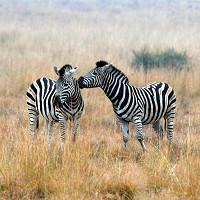Many travellers are opting for African safari trips this year