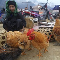 People in Vietnam have been urged to avoid contact with poultry and pigs (AP)