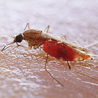Malaria parasites develop strategies to fight off rival infections, researchers at the University of Edinburgh found