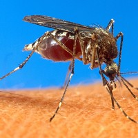An aedes aegypti mosquito which can spread malaria and dengue fever