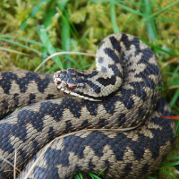 Adders are the only species of poisonous snake found in the UK