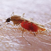Mosquitoes can spread dangerous diseases such as malaria