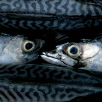 Bowel cancer patients should eat a lot of oily fish