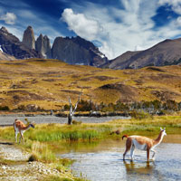 Guanacos are a common sight across low-lying Patagonia