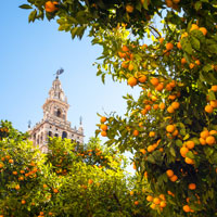 Learn why Seville's oranges are so special